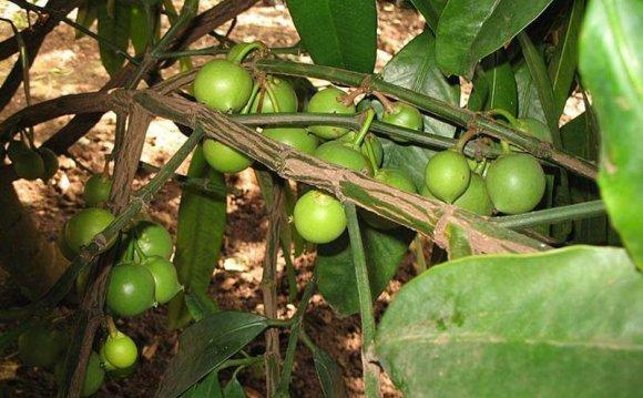 Garcinia Xanthochymus Seeds