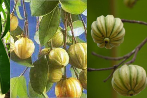 garcinia cambogia and clean