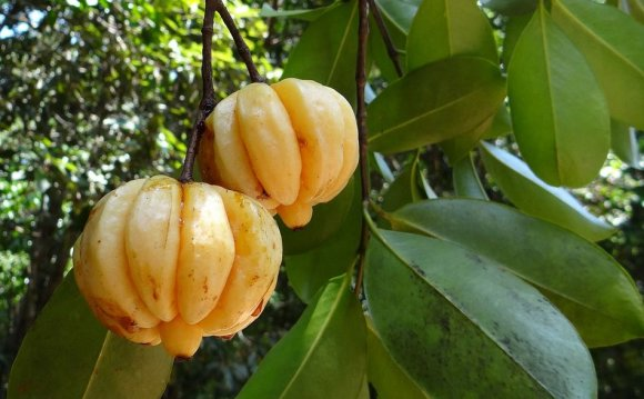 Long term side effects of Garcinia Cambogia