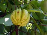 Garcinia Cambogia Helps You Lose weight